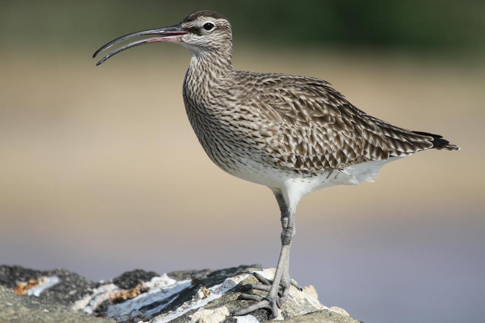 Regenbrachvogel, Whimbrel (Numenius phaeopus) / Negombo