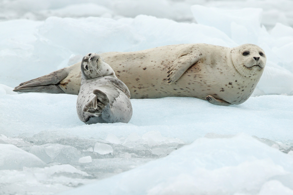 Seehund, Harbor Seal (Phoca vitulina)