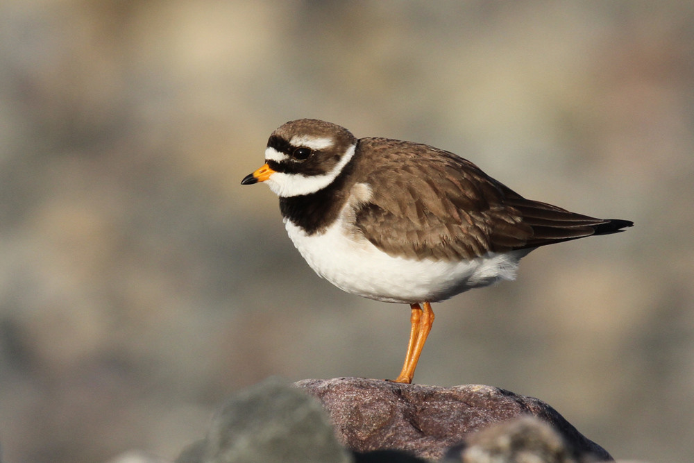 Sandregenpfeifer, Common Ringed Plover (Charadrius hiaticula)
