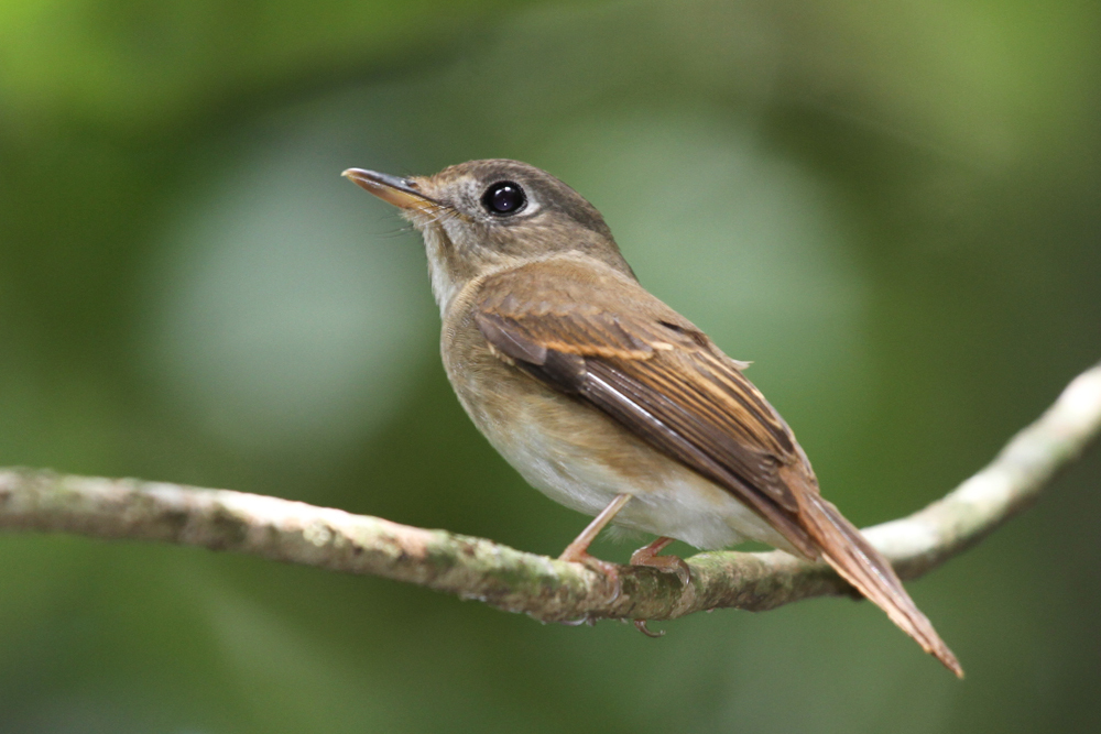 Bambusschnäpper, Brown-breasted Flycatcher [Muscicapa muttui] / Kitulgala