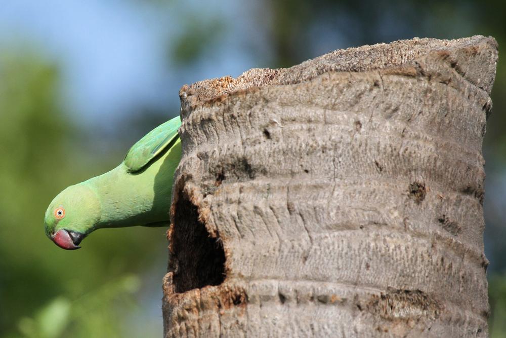 Halsbandsittich, Rose-ringed Parakeet (Psittacula krameri) / Kalametiya