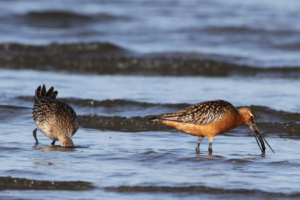 Pfuhlschnepfe, Bar-tailed Godwit (Limosa lapponica)