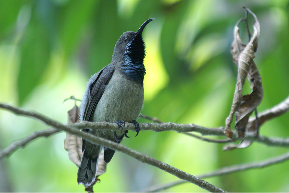 Seychellennektarvogel, Seychelles Sunbird (Cinnyris dussumieri) / Praslin