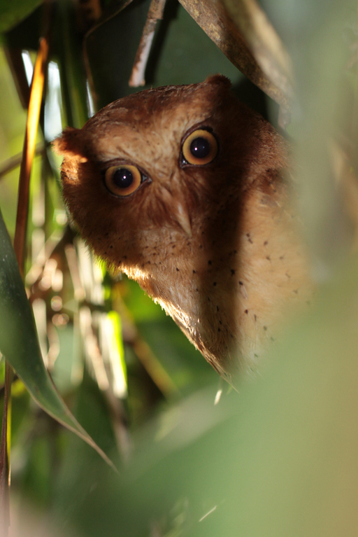 Serendib-Zwergohreule, Serendib Scops Owl (Otus thilohoffmanni) / Sinharaja
