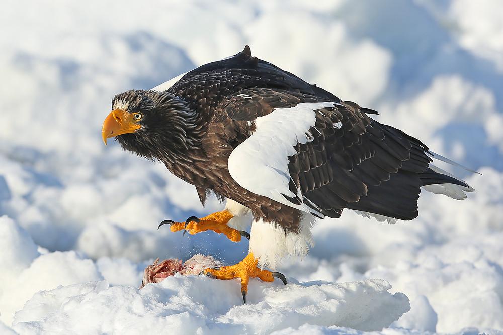 Riesenseeadler (Haliaeetus pelagicus)