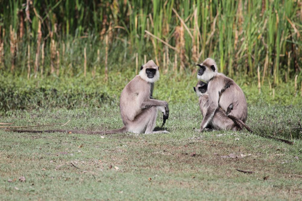 Hanuman-Languren, Hanuman langurs (Semnopithecus) / Kalamentiya