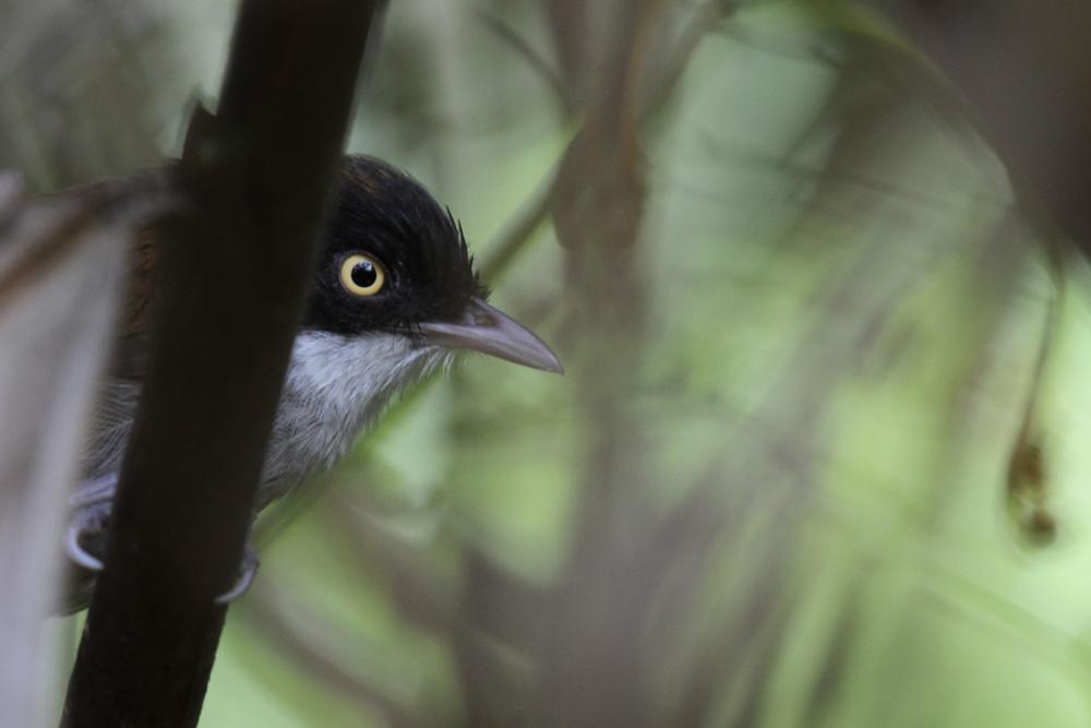 Kapuzentimalie, Dark-fronted Babbler (Rhopocichla atriceps) / Sinharaja
