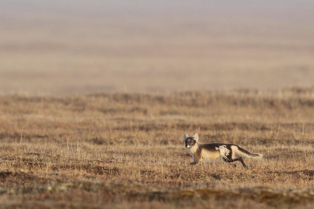 Polar Fuchs, Arctic Fox (Vulpes lagopus)