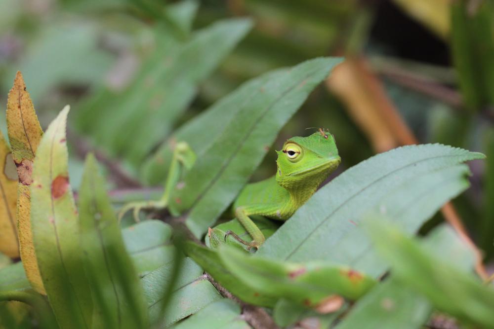 Sägerückenagame, Green Garden Lizard, Calotes calotes) / Sinharaja - Foto von Livia Haag