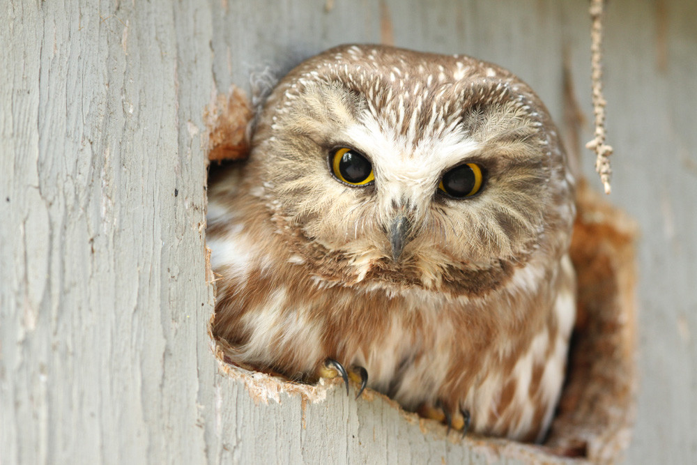 Sägekauz, Northern Saw-whet Owl (Aegolius acadicus)