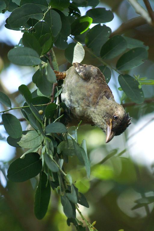 Seychellen-Bülbül, Seychelles Black Bulbul (Hypsipetes crassirostris) / La Digue