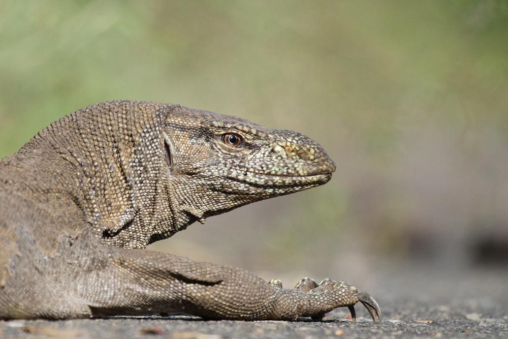Bengalenwaran, Land Monitor Lizard (Varanus bengalensis) / Kalametiya