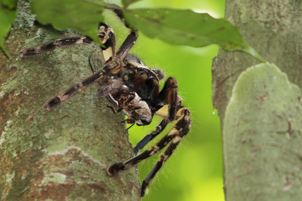 Ceylon-Baumvogelspinne, Sri Lankan Ornamental Tarantula (Poecilotheria fasciata) / Kitulgala
