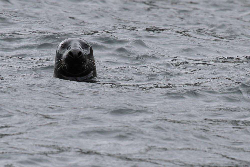 Kegelrobbe, Grey Seal (Halichoerus grypus)