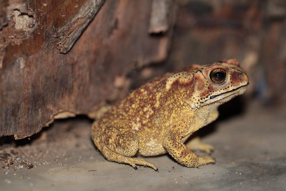 Schwarznarbenkröte, Asian Common Toad (Bufo melanostictus) / Kitulgala