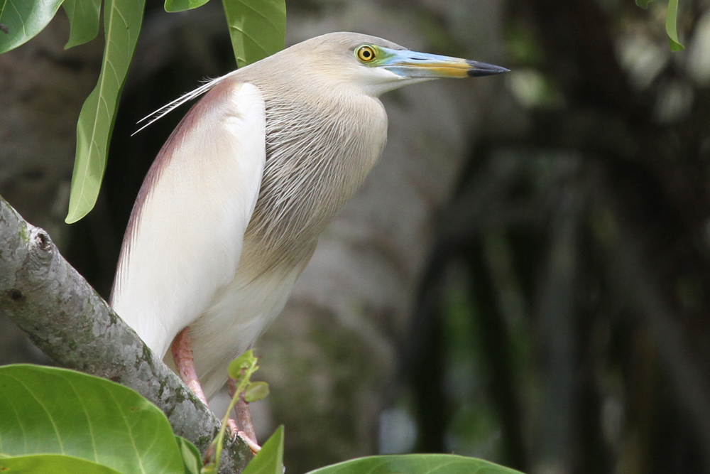 Paddyreiher, Indian Pond Heron (Ardeola grayii) / Kalametiya