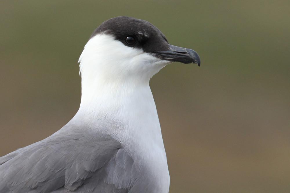 Falkenraubmöwe, Long-tailed Skua (Stercorarius longicaudus)