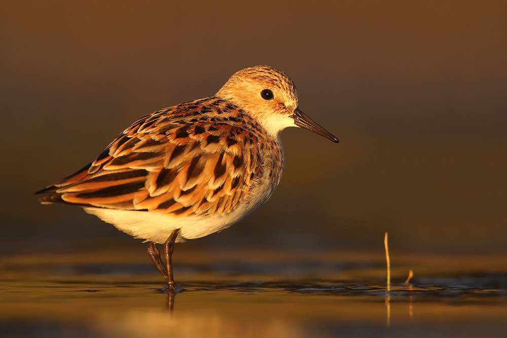 Zwergstrandläufer, Little Stint (Calidris minuta)