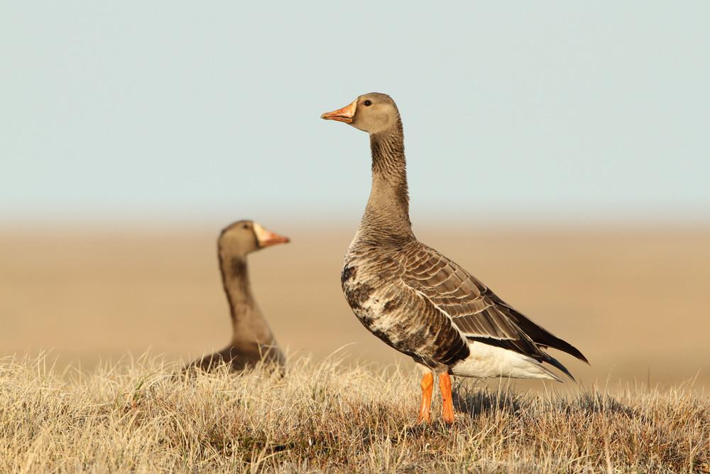 Blässgans, Greater White-fronted Goose (Anser albifrons)