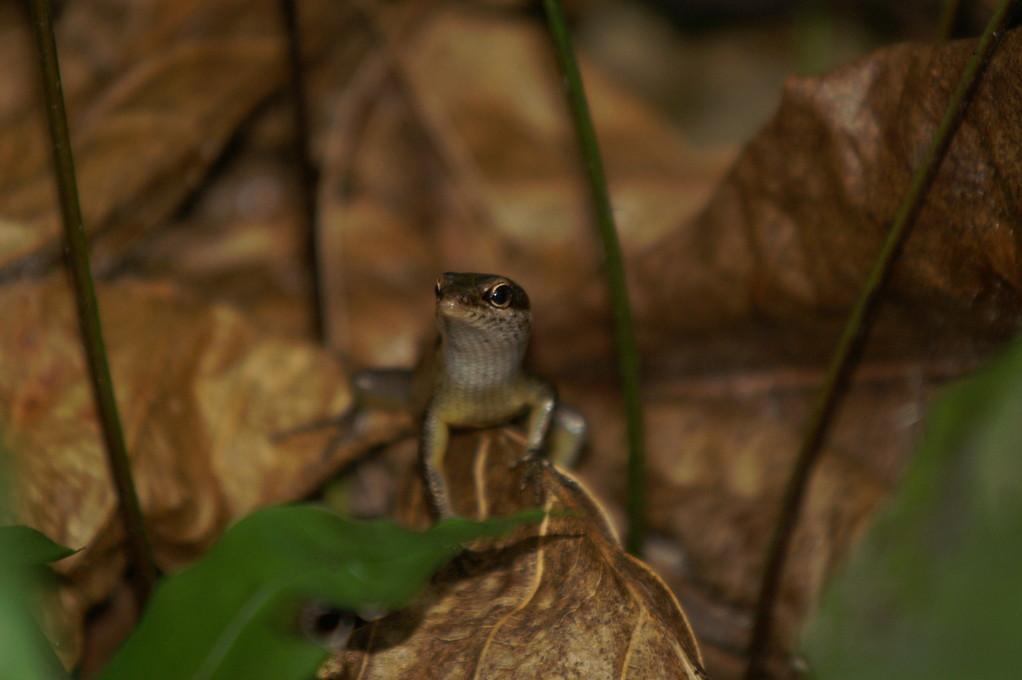 Seychellen Skink, Seychelles Skink (Trachylepis seychellensis) / Cousin