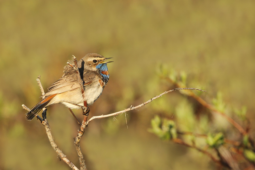 Rotsterniges Blaukehlchen, Bluethroat (Luscinia svecica sveica)