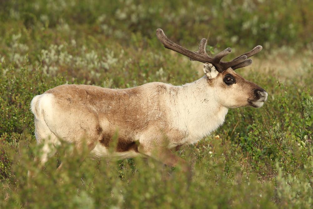 Rentier, Reindeer (Rangifer tarandus)