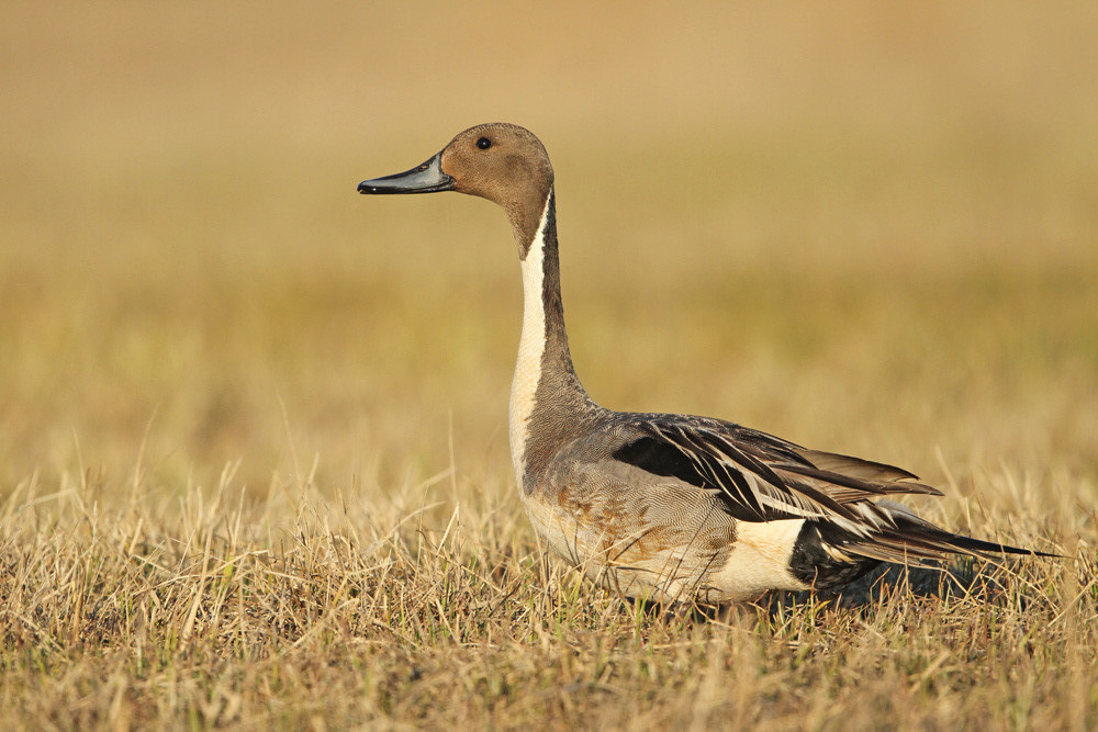 Spiessente, Northern Pintail (Anas acuta)