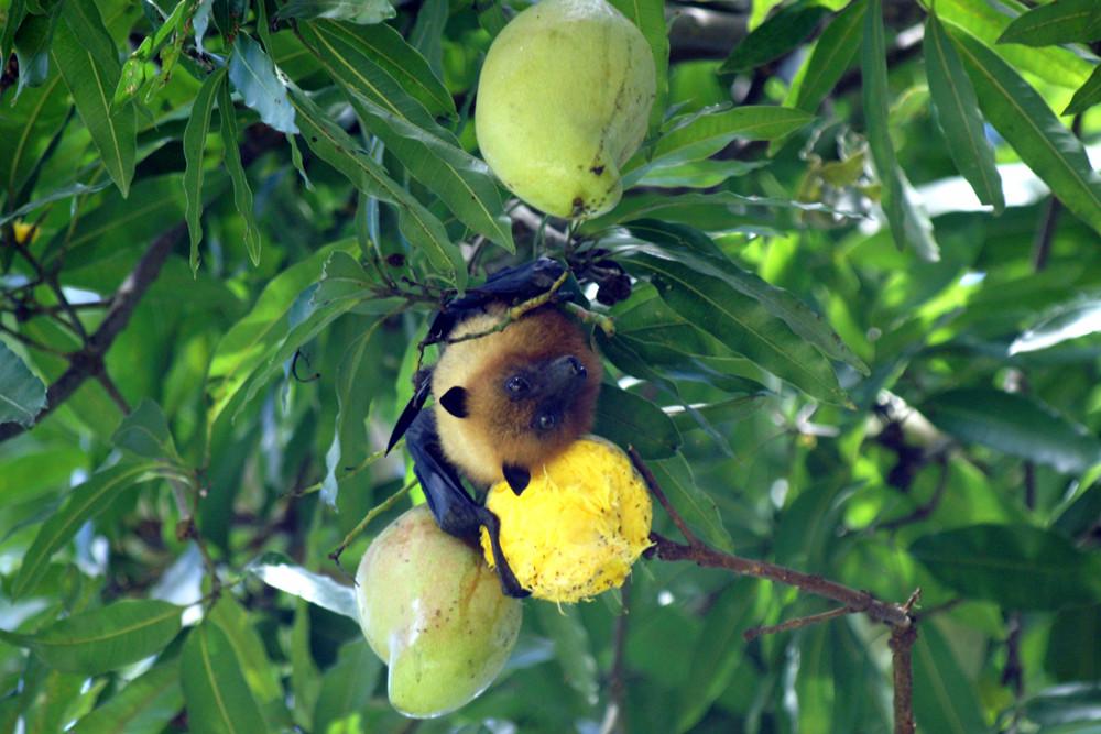 Seychellen Flughund, Seychelles fruit bat (Pteropus seychellensis) / La Digue
