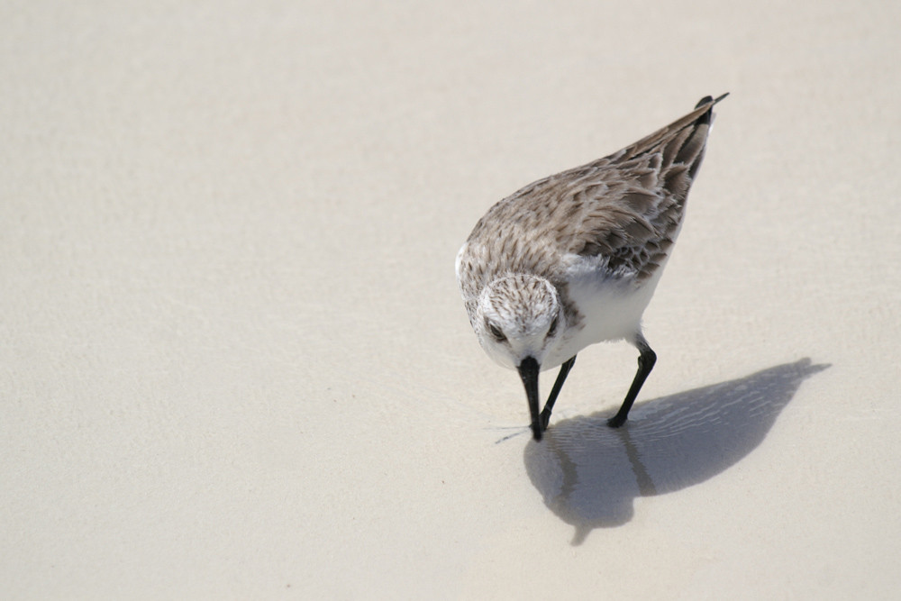 Sanderling, Sanderling (Calidris alba) / Praslin