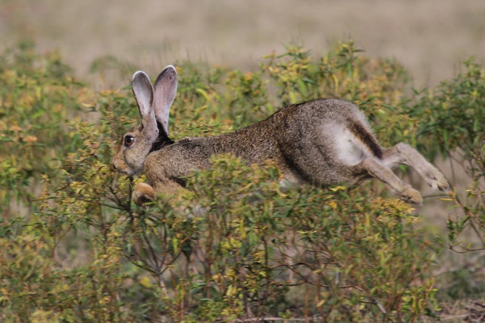 Schwarznackenhase oder Indische Hase (Lepus nigricollis)