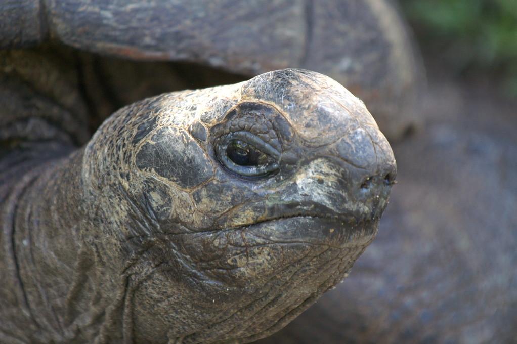 Aldabra-Riesenschildkröte, Aldabra giant tortoise (Aldabrachelys gigantea) / La Digue