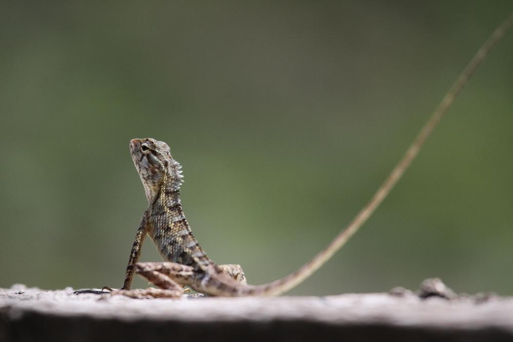 Indische Schönechse, Common Garden Lizard (Calotes versicolor versicolor) - Kalametiya