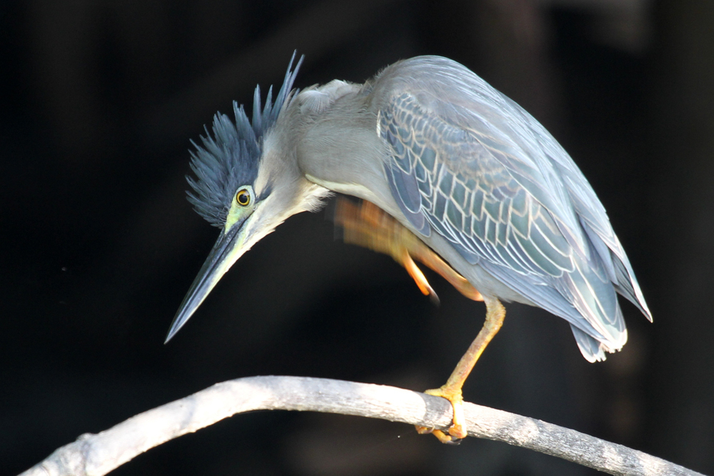 Mangrovereiher, Striated Heron (Butorides striata) / Negombo