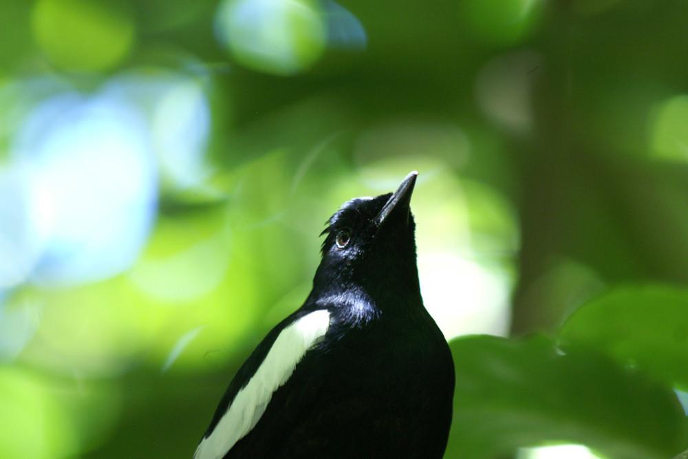 Seychellendajal, Seychelles Magpie-Robin (Copsychus sechellarum) / Cousin
