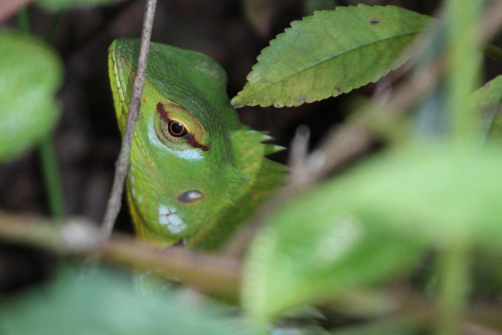 Sägerückenagame, Green Garden Lizard, Calotes calotes) / Sinharaja