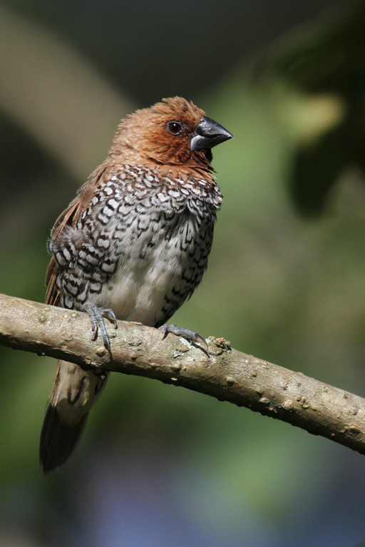 Muskatamadine, Scaly-breasted Munia (Lonchura punctulata) / Nuwara Eliya