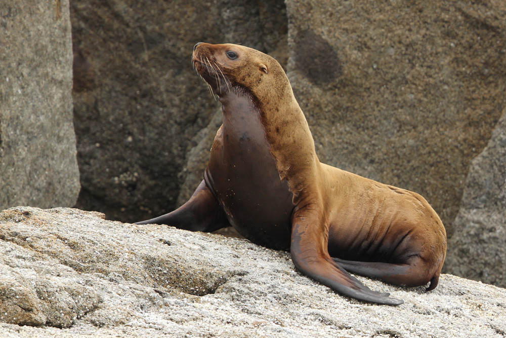 Stellerscher Seelöwe, Steller's Sea Lion (Eumetopias jubatus)
