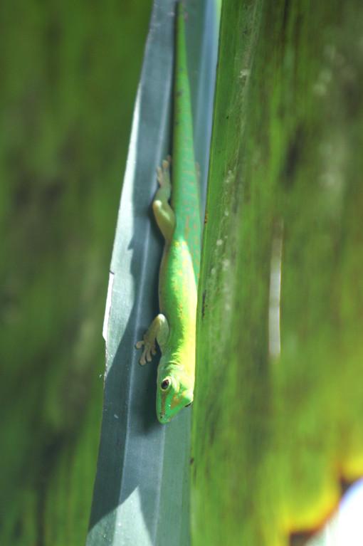 Seychellen Taggecko, Seychelles Day Gecko (Phelsuma sundbergi sundbergi) / La Digue