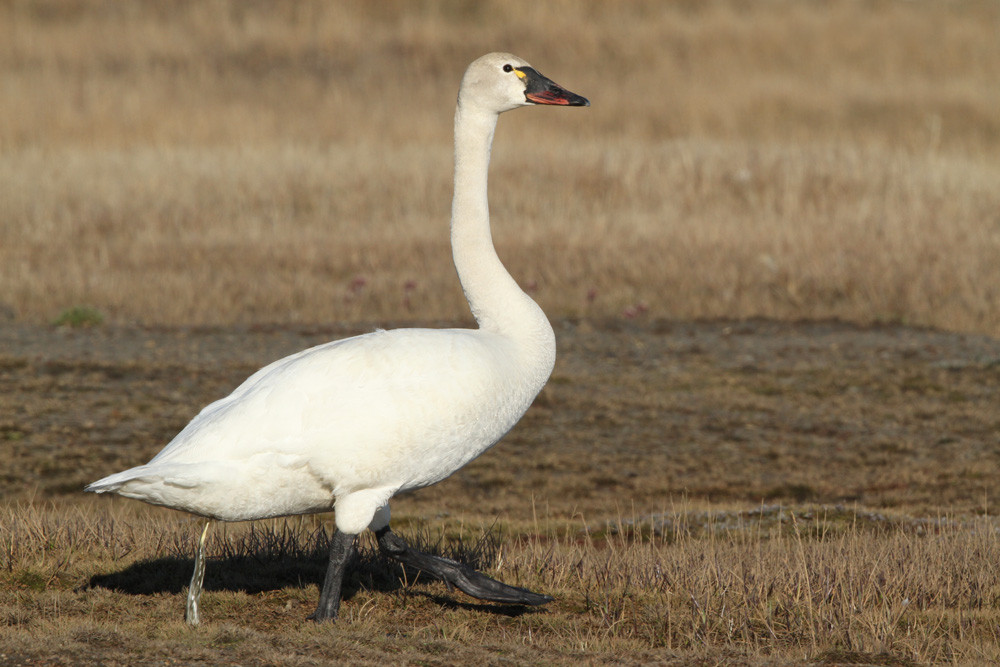 Pfeifschwan, Tundra Swan (Cygnus columbianus)