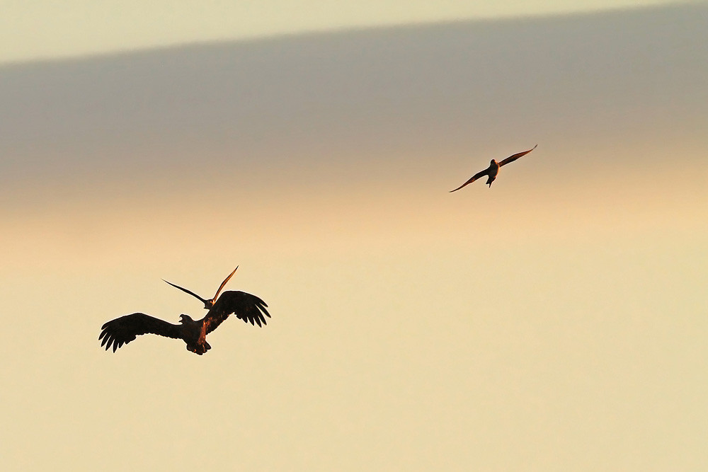 Seeadler, White-tailed Eagle (Haliaeetus albicilla)