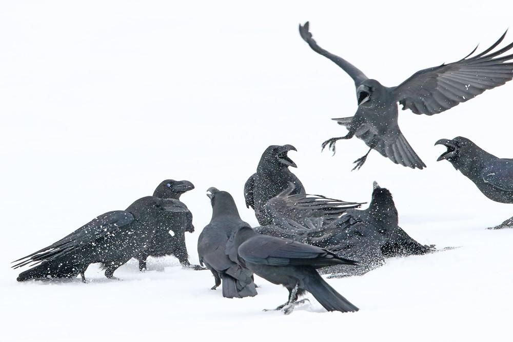 Dickschnabelkrähe (Corvus macrorhynchos)