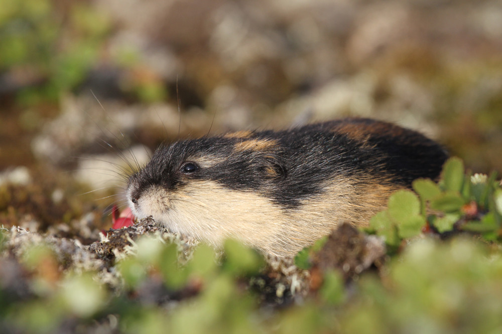 Berglemming, Norway Lemming (Lemmus lemmus)