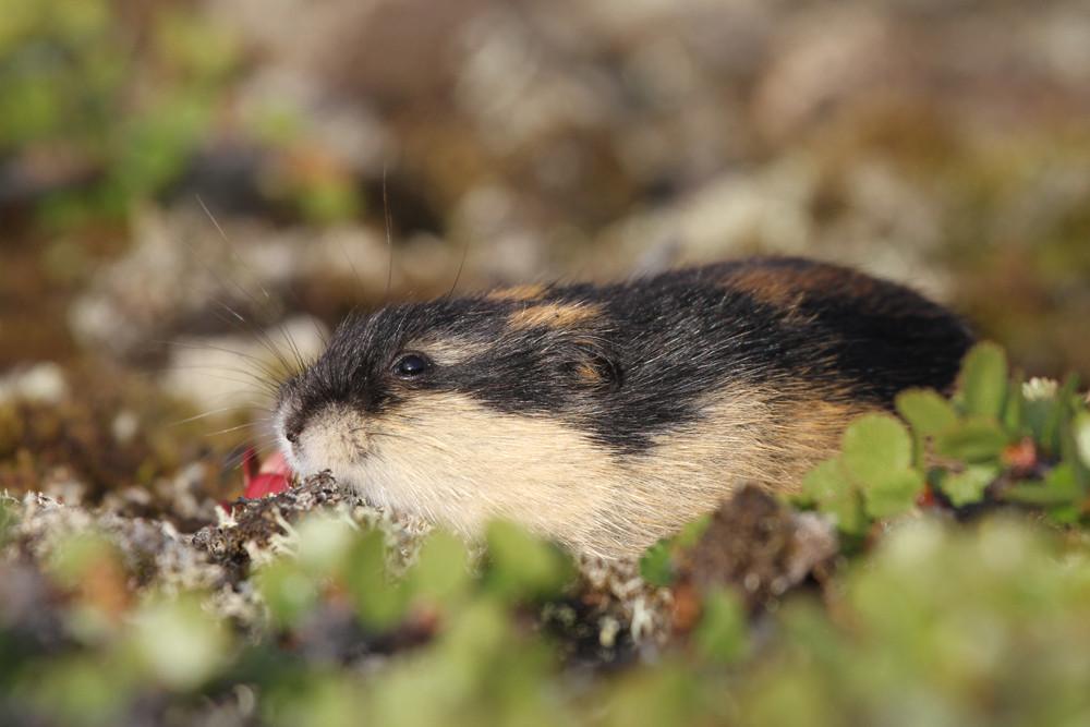 Berglemming, Norway Lemming (Lemmus lemmus)