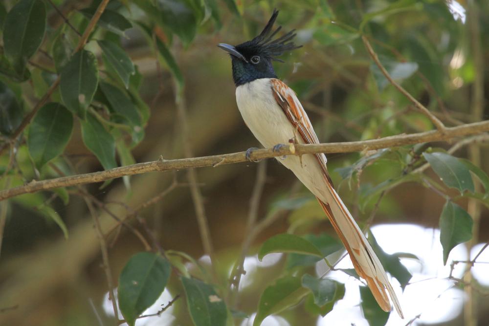 Hainparadiesvogel, Asian Paradise Flycatcher (Terpsiphone paradisi) / Anawilundawa