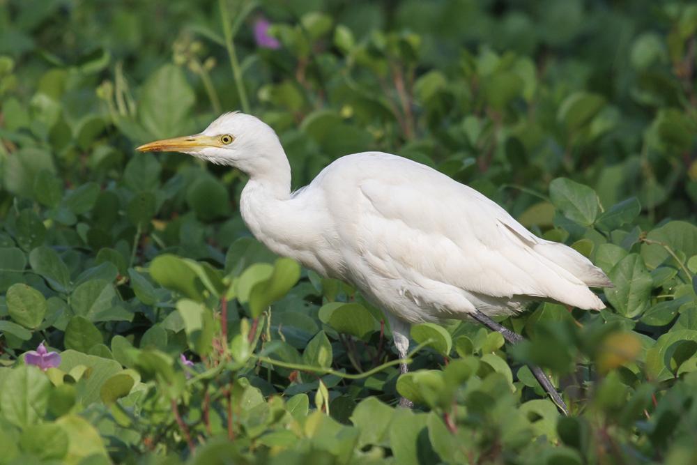 Kuhreiher, Cattle Egret (Bubulcus ibis) / Negombo