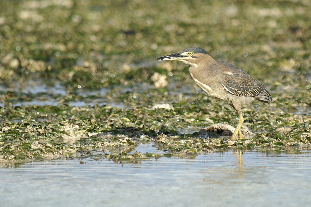 Mangrovereiher, Striated Heron (Butorides striata - race degens) / La Digue