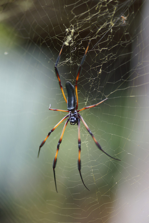 Seidenspinne, Palm spider (Nephila inaurata) / La Digue