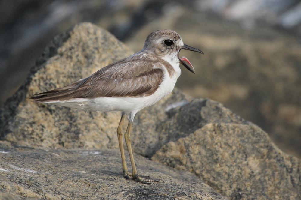 Wüstenregenpfeifer, Greater Sand Plover (Charadrius leschenaultii) / Negombo
