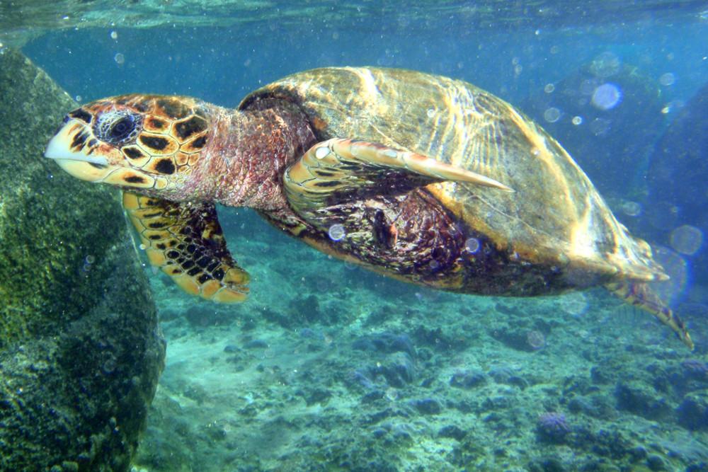 Echte Karettschildkröte, Hawksbill Sea Turtle (Eretmochelys imbricata) / Coco Island