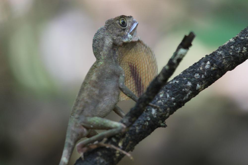 Wiegmanns Agame, Sri Lanka Kangaroo Lizard (Otocryptis wiegmanni) / Sinharaja